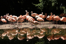 Zoo-Bild Nr. 4     Flamingos